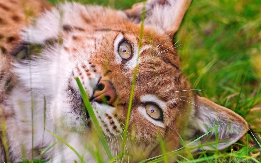 eyes, face, grass, lie, lynx wallpaper background best stock photos@toppng.com