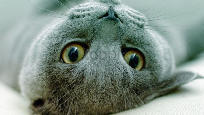 free PNG eyes, face, kitten, lie, playful wallpaper background best stock photos PNG images transparent