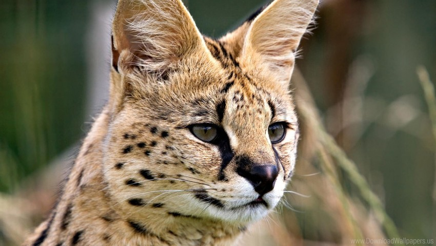 free PNG eyes, face, lynx, predator wallpaper background best stock photos PNG images transparent