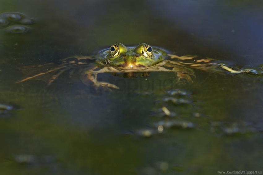 free PNG eyes, frog, pond, water wallpaper background best stock photos PNG images transparent