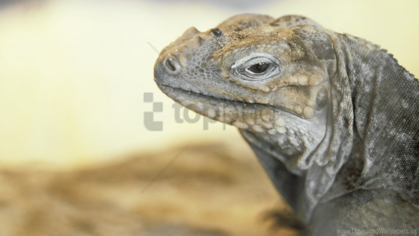 free PNG eyes, lizard, monitor lizard wallpaper background best stock photos PNG images transparent