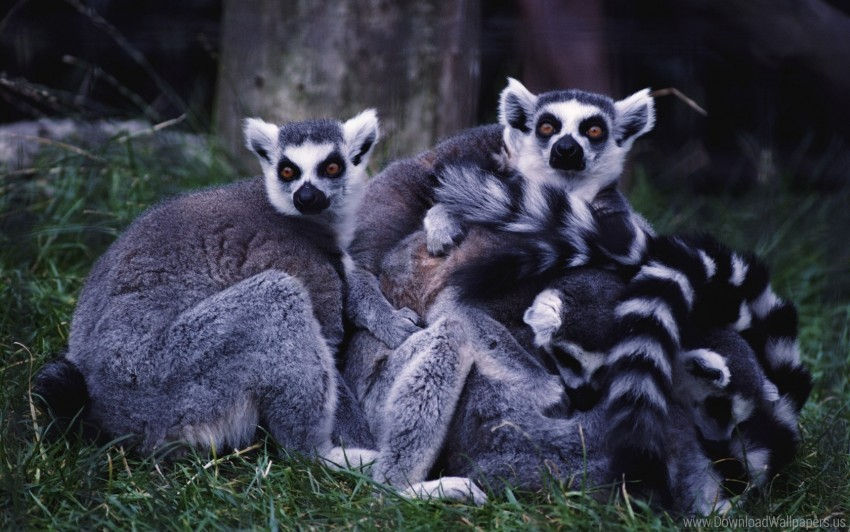 free PNG family, grass, lemurs, striped wallpaper background best stock photos PNG images transparent