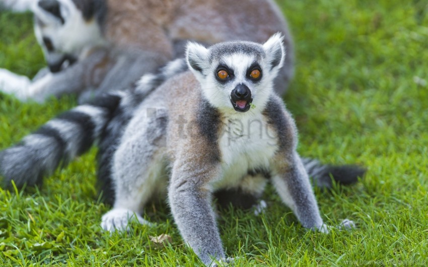 free PNG family, grass, lemurs wallpaper background best stock photos PNG images transparent