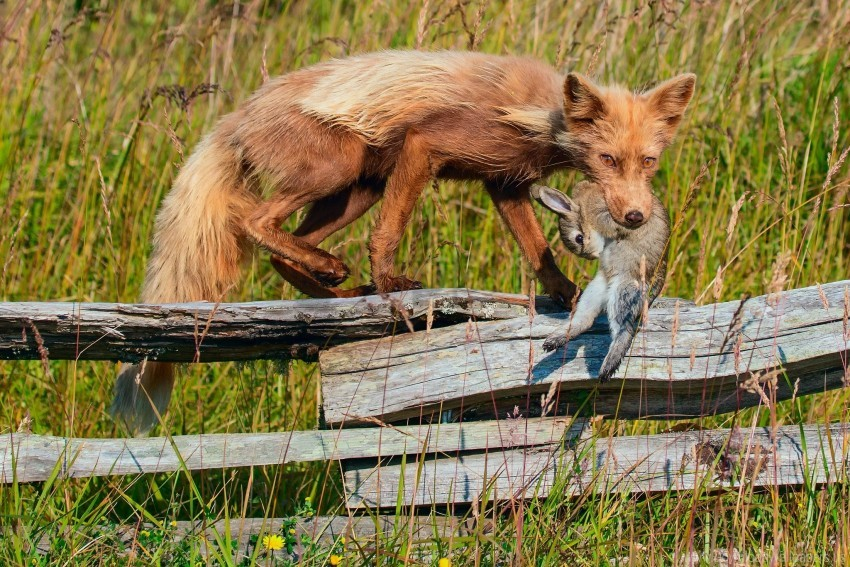 free PNG fence, fox, grass, prey, rabbit wallpaper background best stock photos PNG images transparent