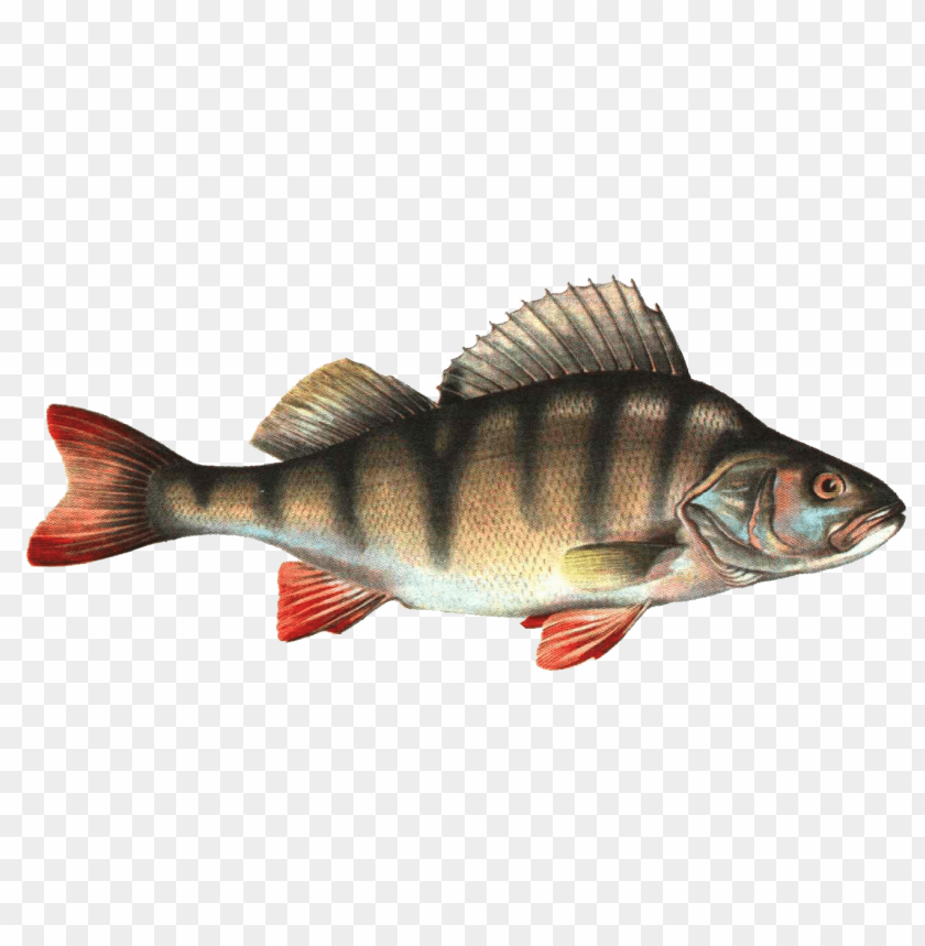 free PNG fish png PNG images transparent