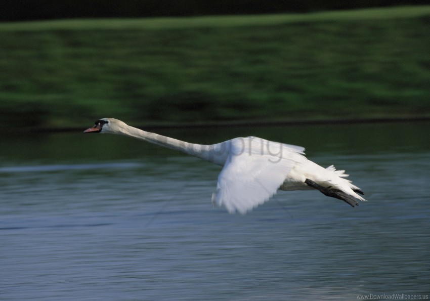 free PNG flying, swan, water wallpaper background best stock photos PNG images transparent