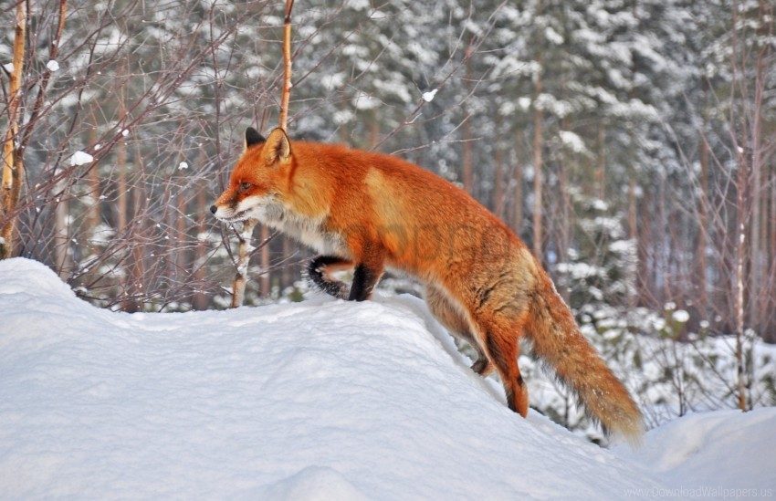 free PNG forest, fox, snow, winter wallpaper background best stock photos PNG images transparent