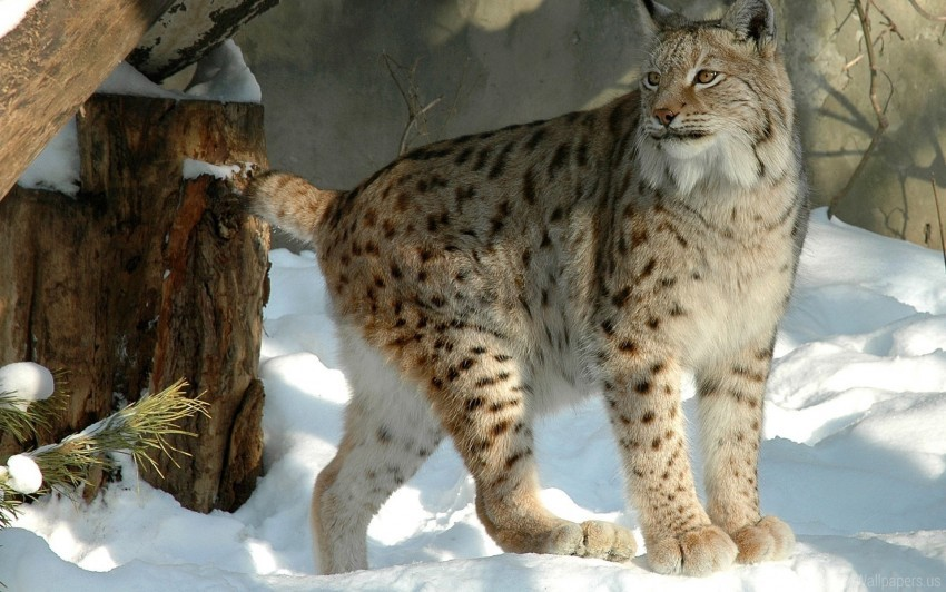 free PNG forest, lynx, snow, winter wallpaper background best stock photos PNG images transparent