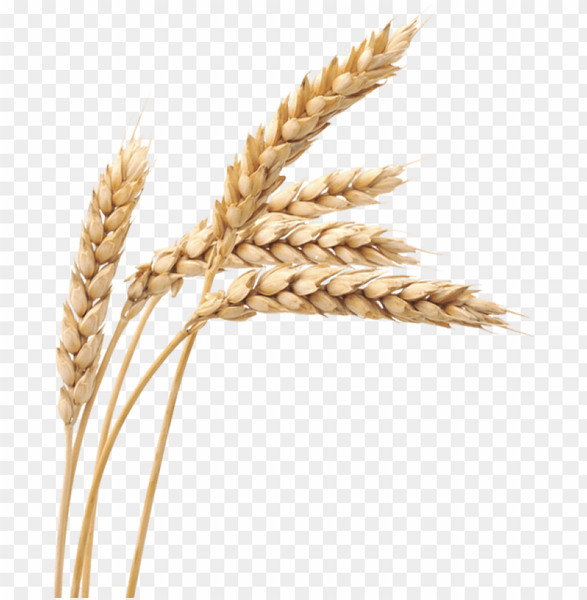 free png images wheat png - wheat PNG image with transparent background@toppng.com
