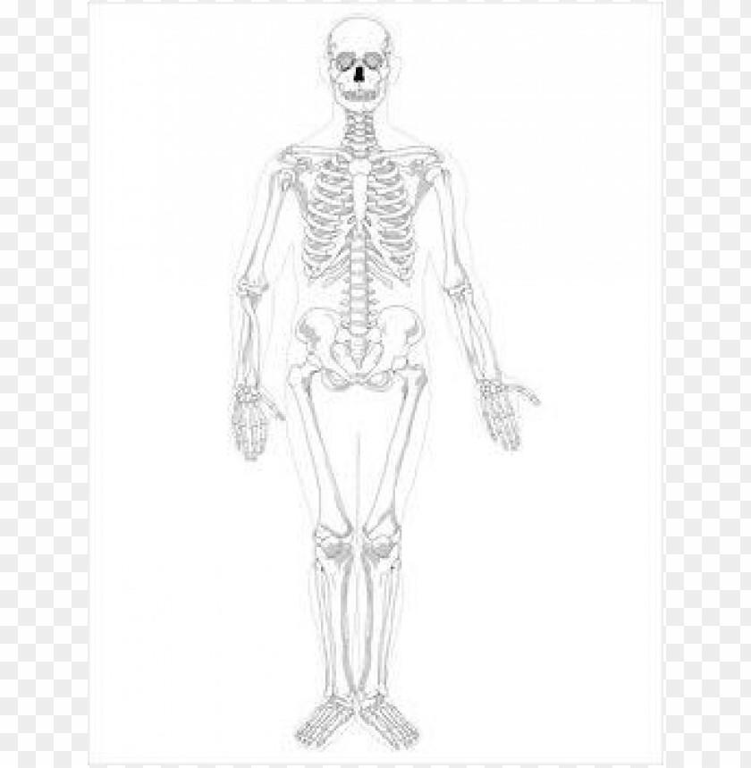 free png free skeleton  public domain halloween  images 3 2 PNG images transparent