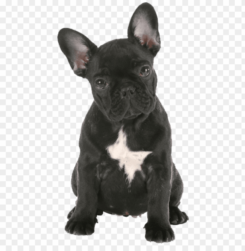 Download French Bulldog Png Png Images Background Toppng