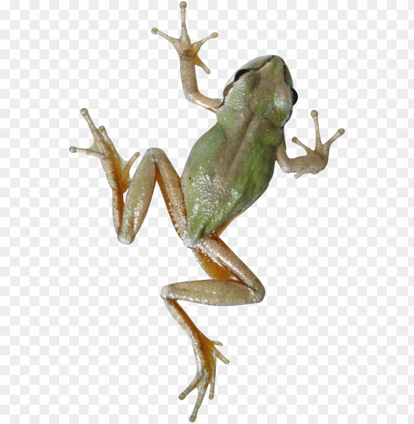 free PNG frog PNG images transparent