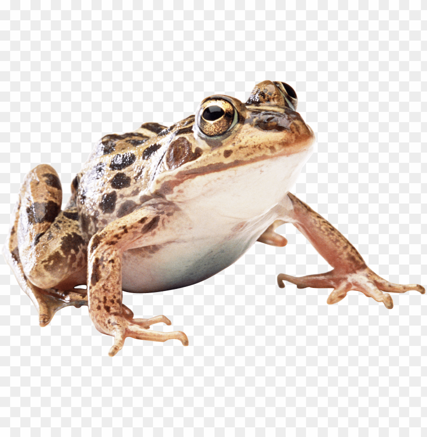 Download frog png images background@toppng.com