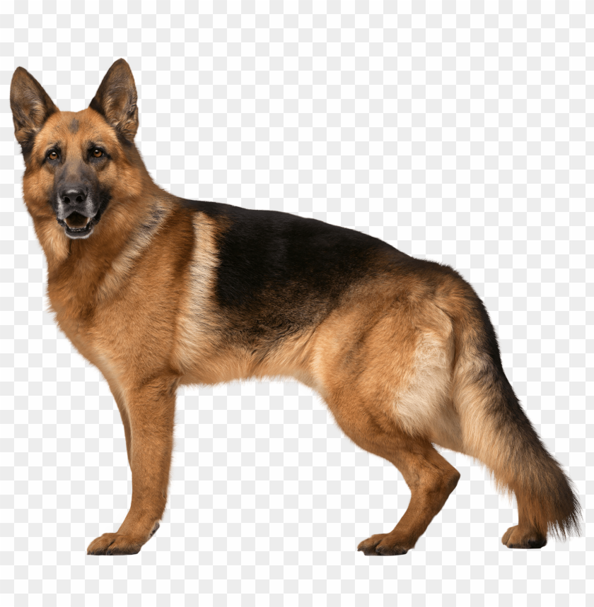 German Shepherd Dog Png Free Png Images Toppng