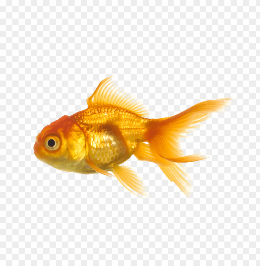 free PNG Download gold fish png images background PNG images transparent