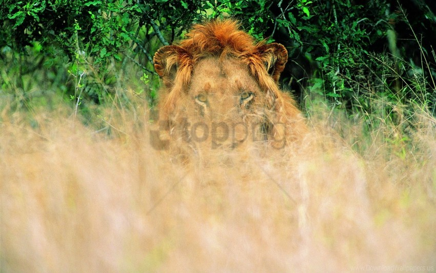 free PNG grass, lion, waiting wallpaper background best stock photos PNG images transparent