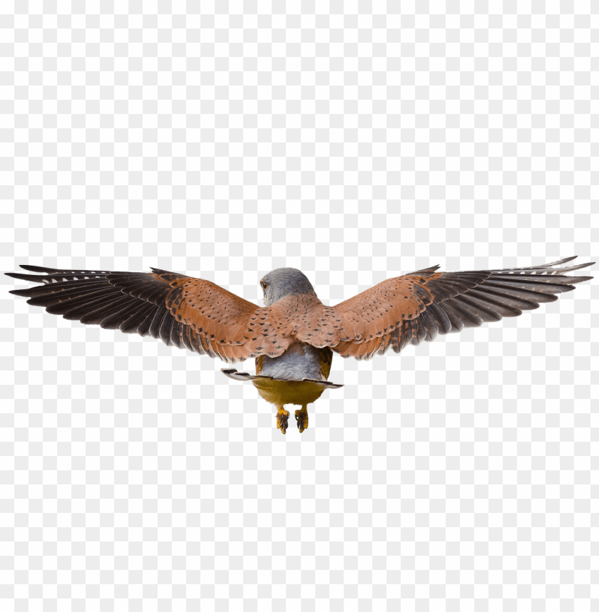 free PNG hawk flying png - bird PNG image with transparent background PNG images transparent