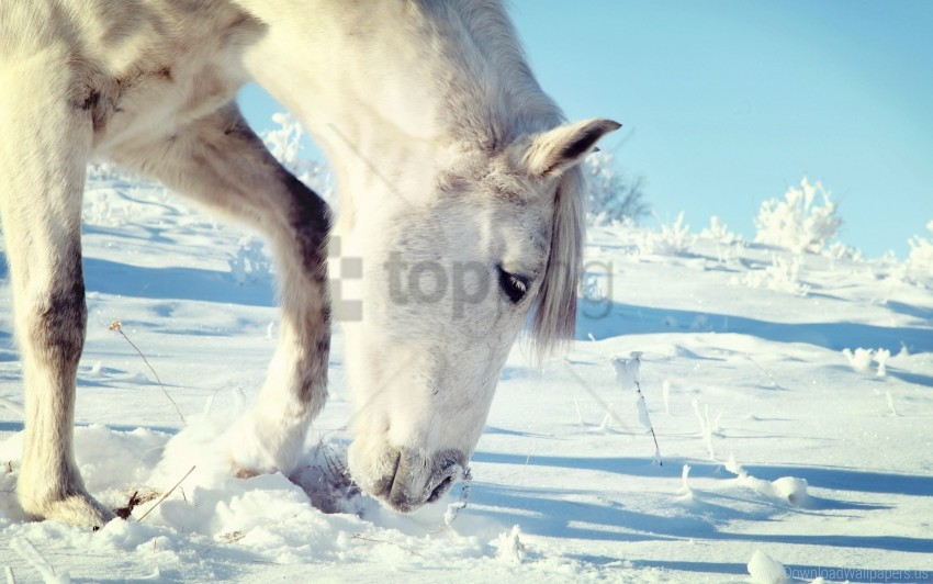Head Horse Snow Wallpaper Background Best Stock Photos
