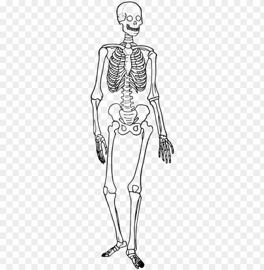 Download Human Skeleton Diagram Trace - Skeletal System Diagram Simple Png