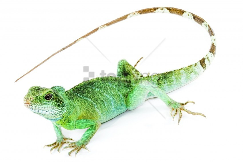 free PNG iguana, tail, white background wallpaper background best stock photos PNG images transparent