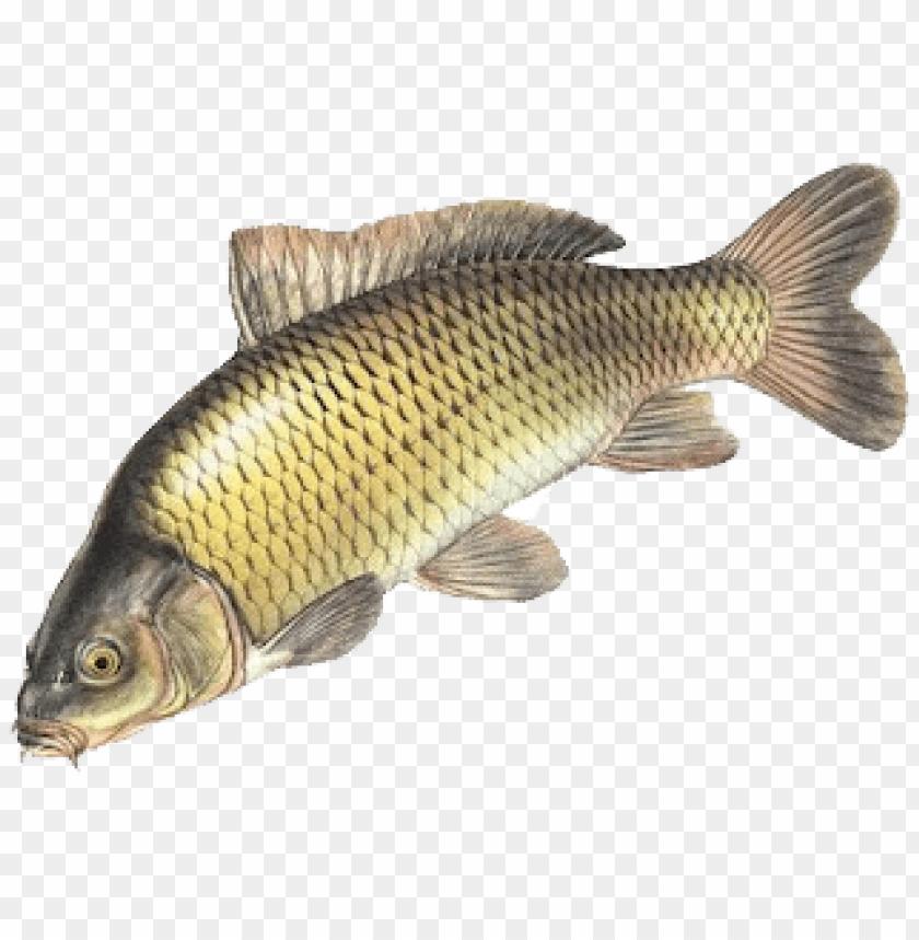 Unduh 50 Free Download Gambar Ikan Nila HD Gratis