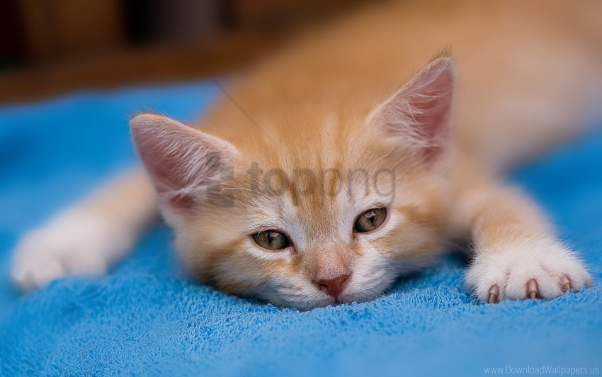 free PNG kitten, lie down, paw, tired wallpaper background best stock photos PNG images transparent