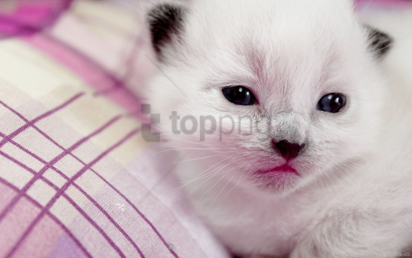 free PNG kitten, muzzle, spotted wallpaper background best stock photos PNG images transparent