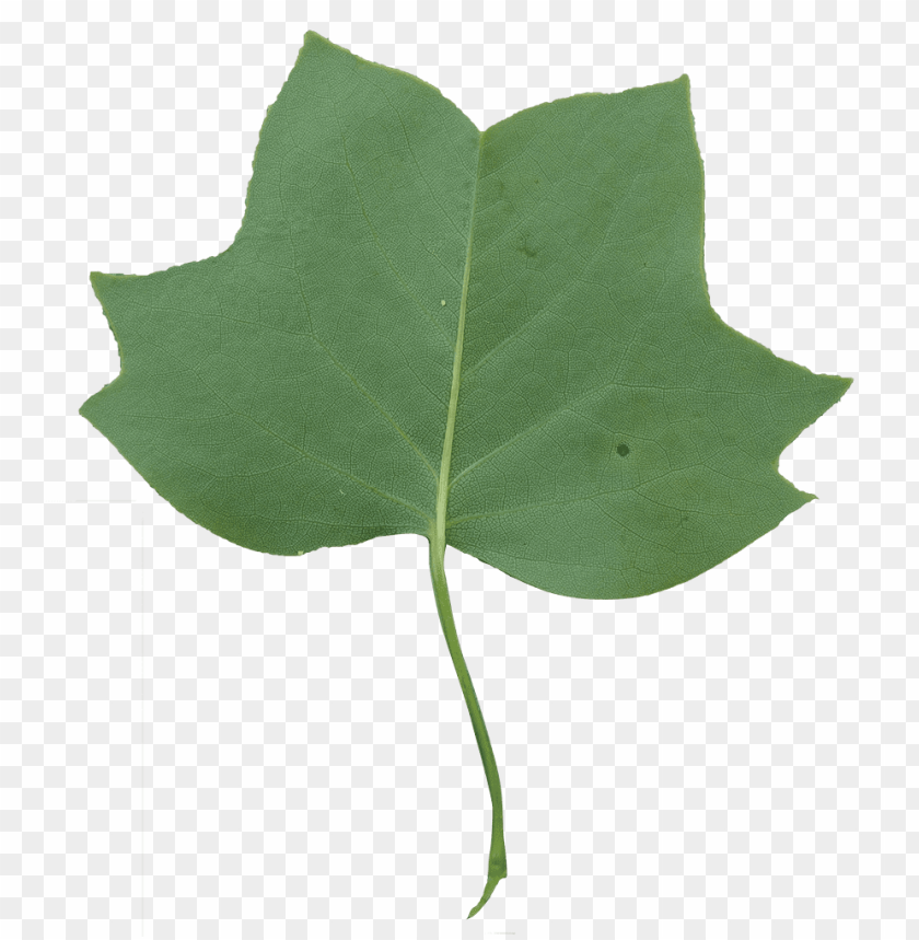 Green leaf transparent background PNG clipart | HiClipart