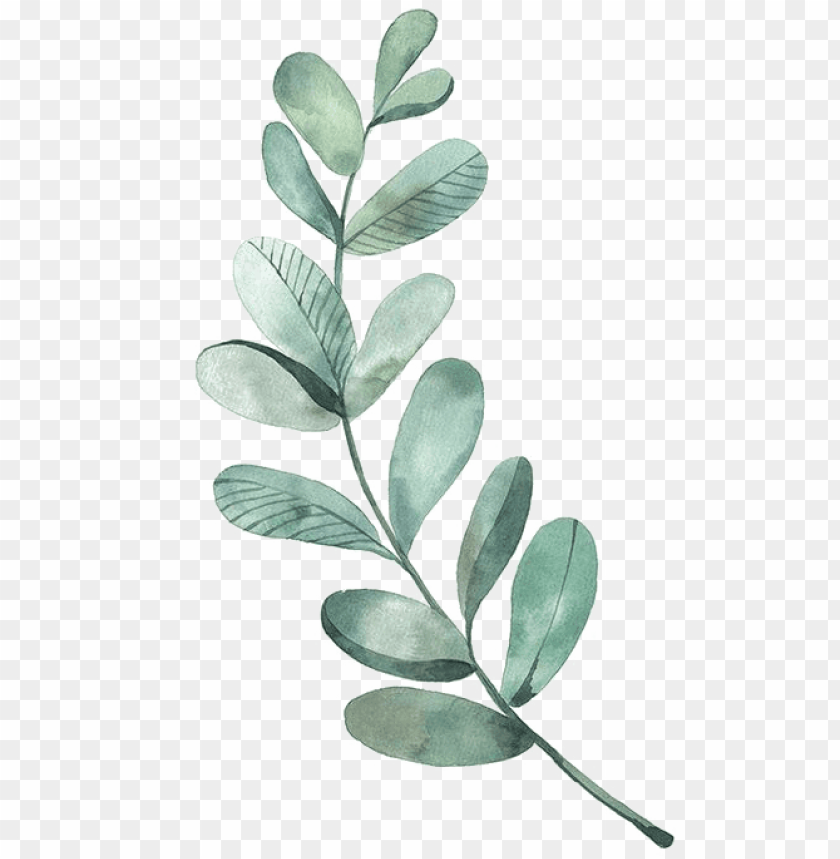 free PNG leaf drawing watercolor painting illustration - watercolor eucalyptus leaves PNG image with transparent background PNG images transparent