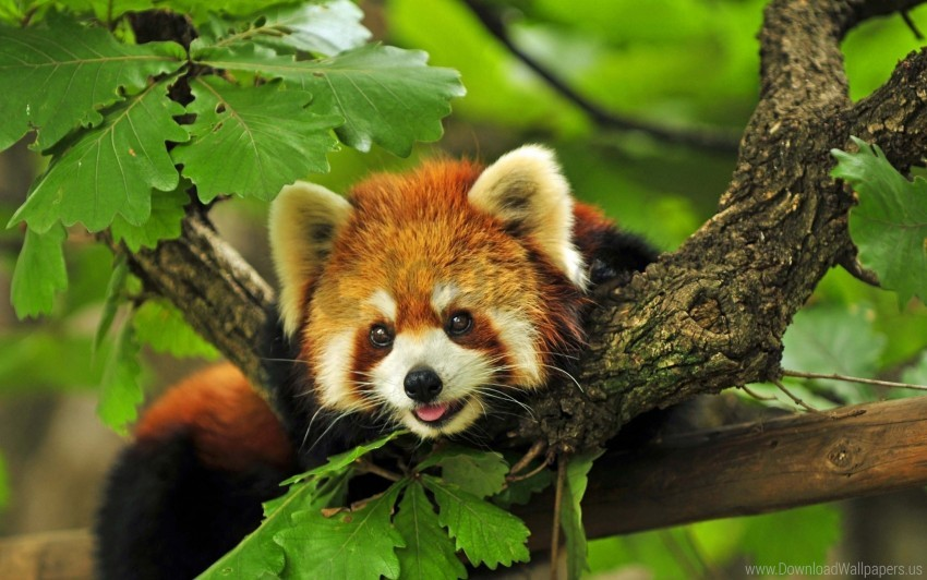 free PNG leaves, red panda, tree wallpaper background best stock photos PNG images transparent