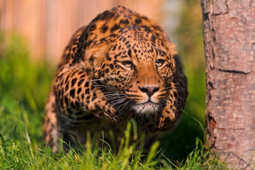 free PNG leopard, ready, roll, stand wallpaper background best stock photos PNG images transparent