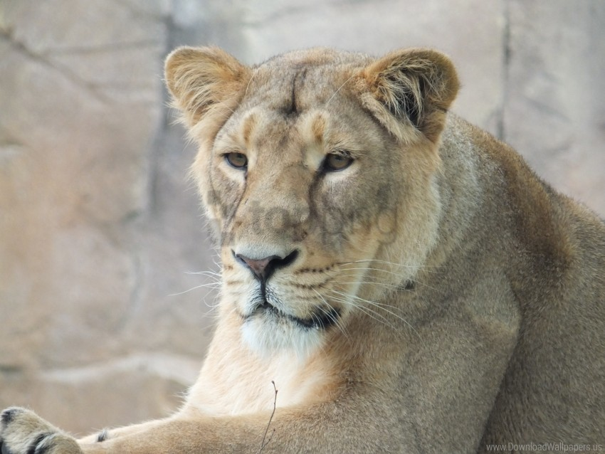 free PNG lioness, look, muzzle, predator wallpaper background best stock photos PNG images transparent