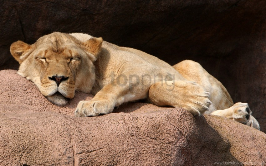 free PNG lioness, lying, stone wallpaper background best stock photos PNG images transparent