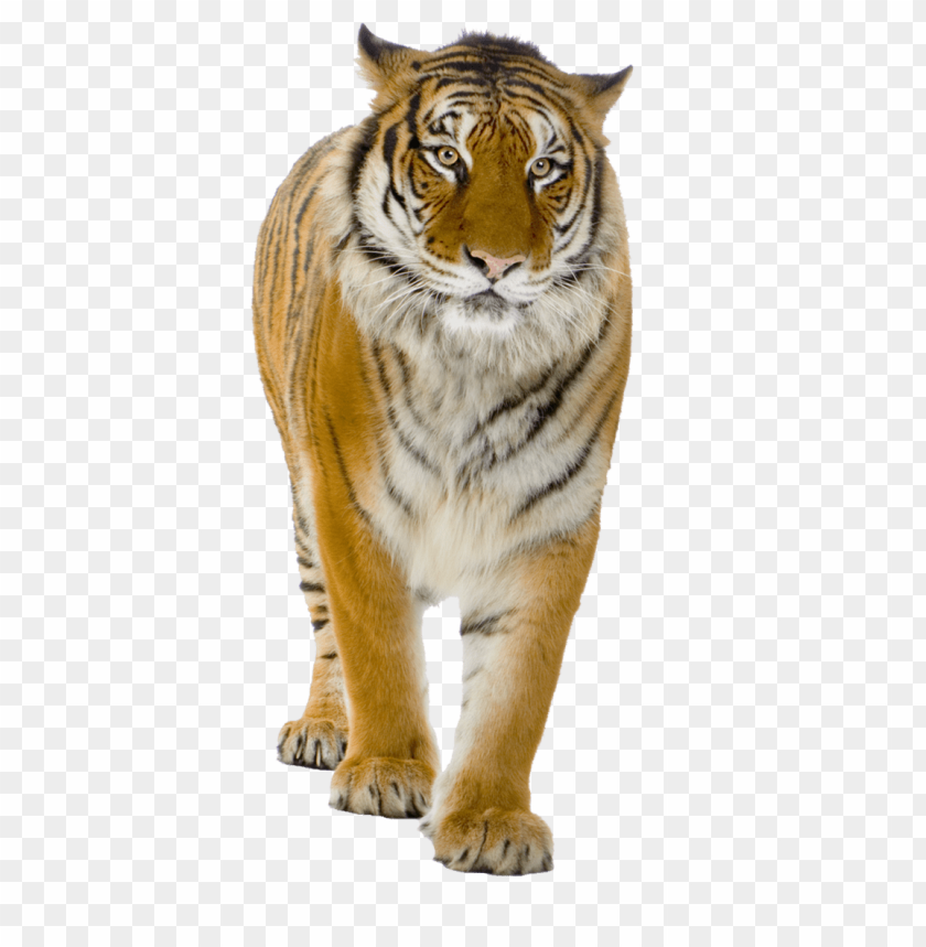 free PNG Download male yellow tiger png images background PNG images transparent
