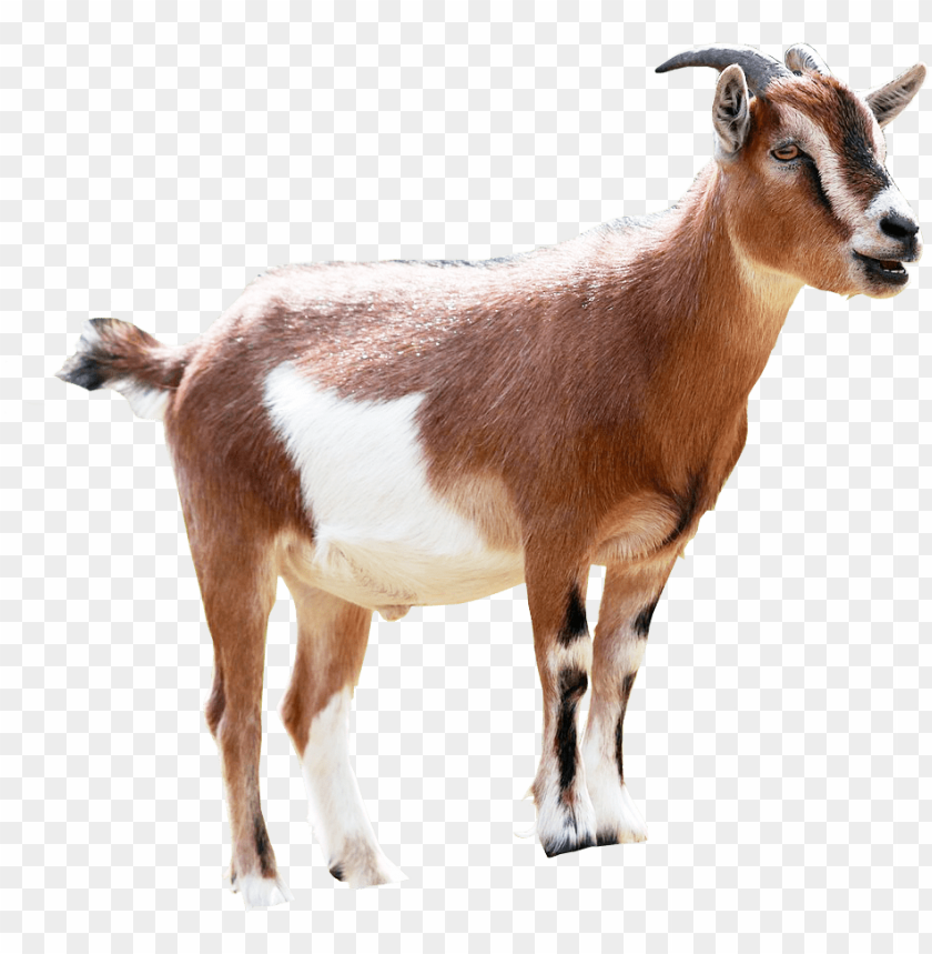 free PNG milking animal sales transprent - ethiopian goat PNG image with transparent background PNG images transparent