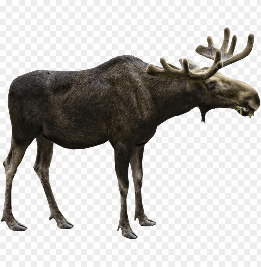 free png moose PNG images transparent