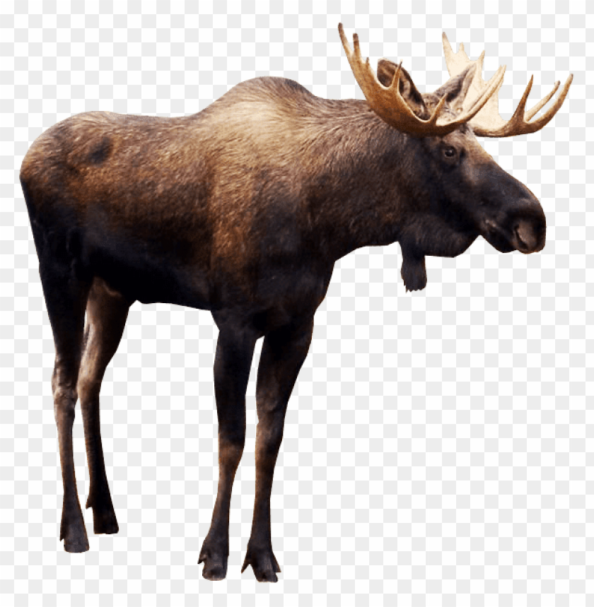 free PNG moose PNG images transparent
