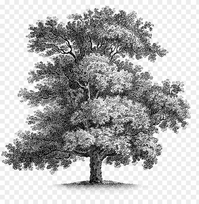 free PNG oak-tree - free vintage printable PNG image with transparent background PNG images transparent