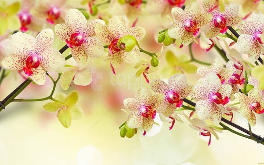 free PNG orchids soft background best stock photos PNG images transparent