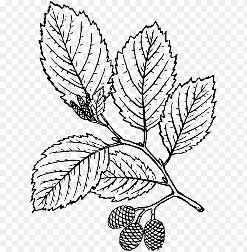 free PNG outline, leaf, tree, branch, plant, vine, leaves, alder - red alder tree drawi PNG image with transparent background PNG images transparent