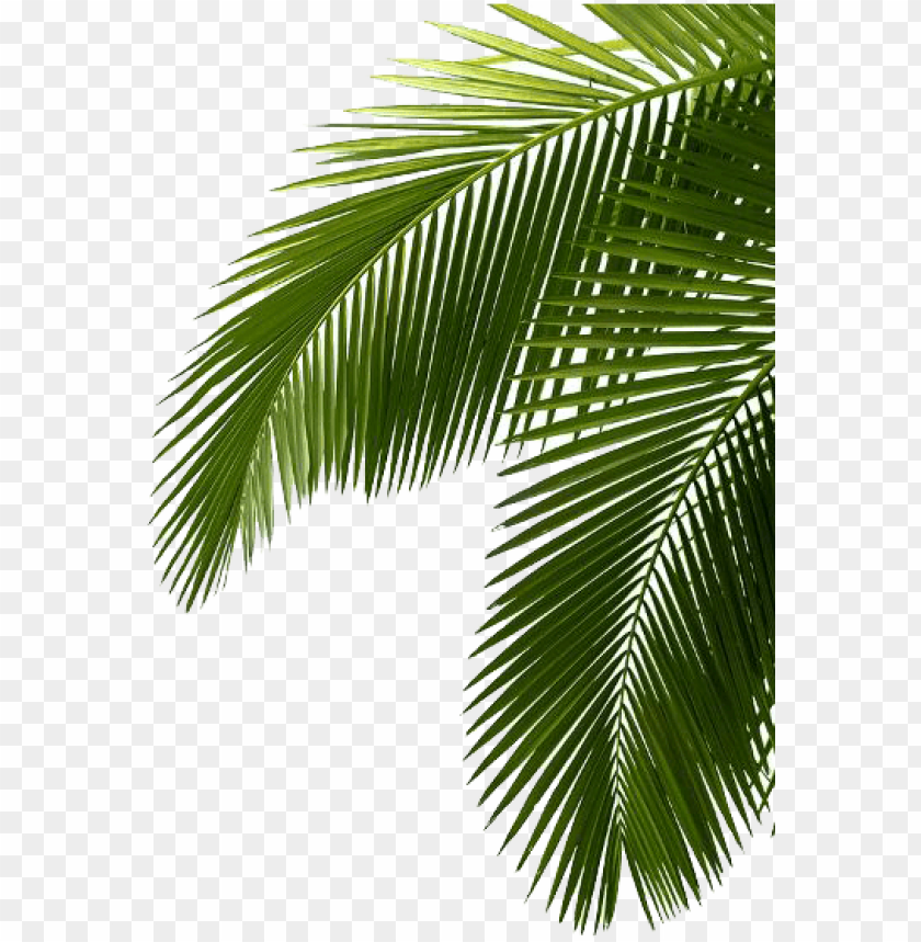 free PNG palm treefreephoto - green palm tree leaves png - Free PNG Images PNG images transparent