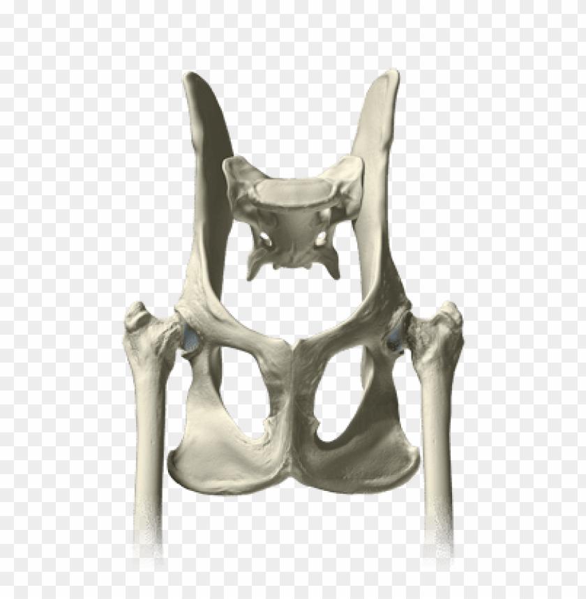Download Pelvis Bones Png Images Background Toppng