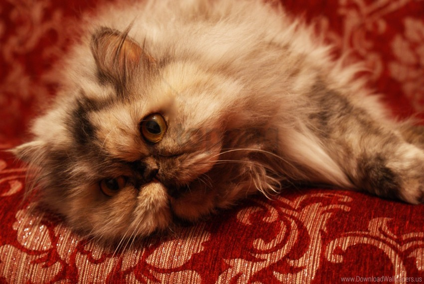 free PNG persian cat, sofa wallpaper background best stock photos PNG images transparent