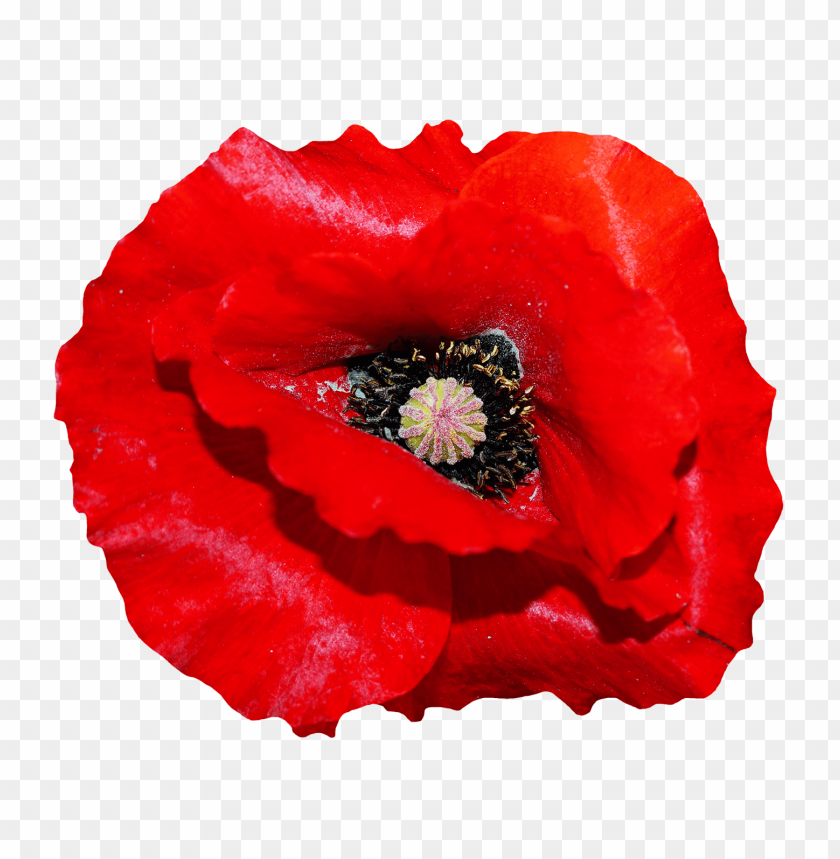 Poppy flower png free png images toppng best poppy flower png free png images mightylinksfo
