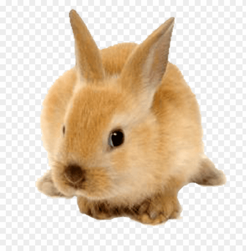 free PNG Download rabbit cute ginger png images background PNG images transparent
