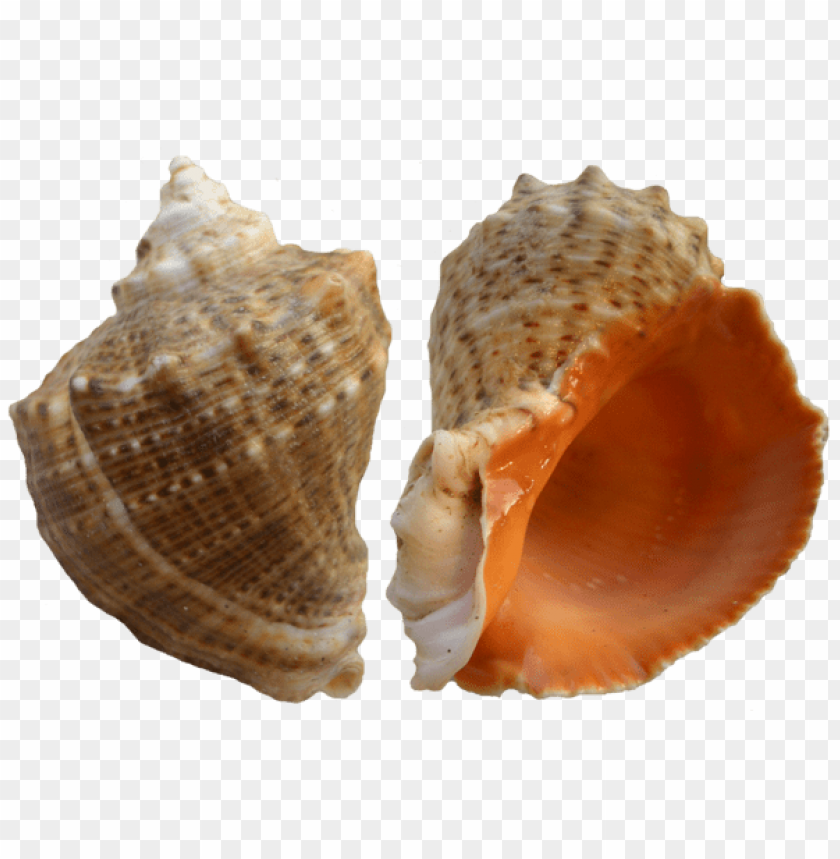 free PNG rapana shell png PNG images transparent