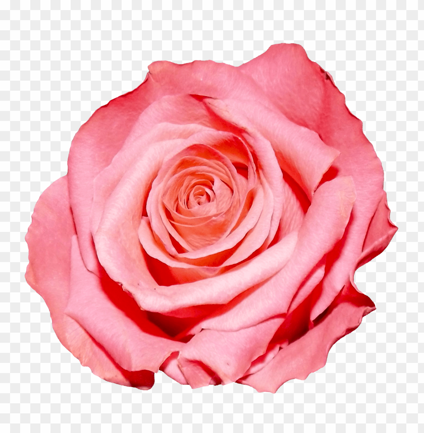 Download Rose Png Images Background Toppng