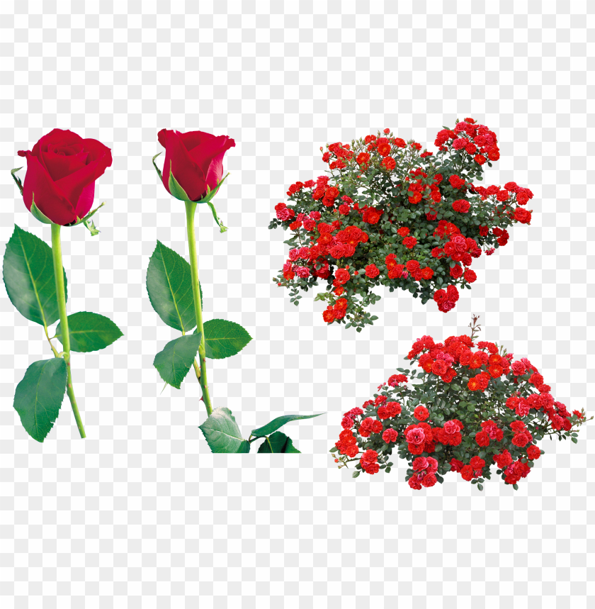 free PNG rose flower clip art - red rose bush PNG image with transparent background PNG images transparent