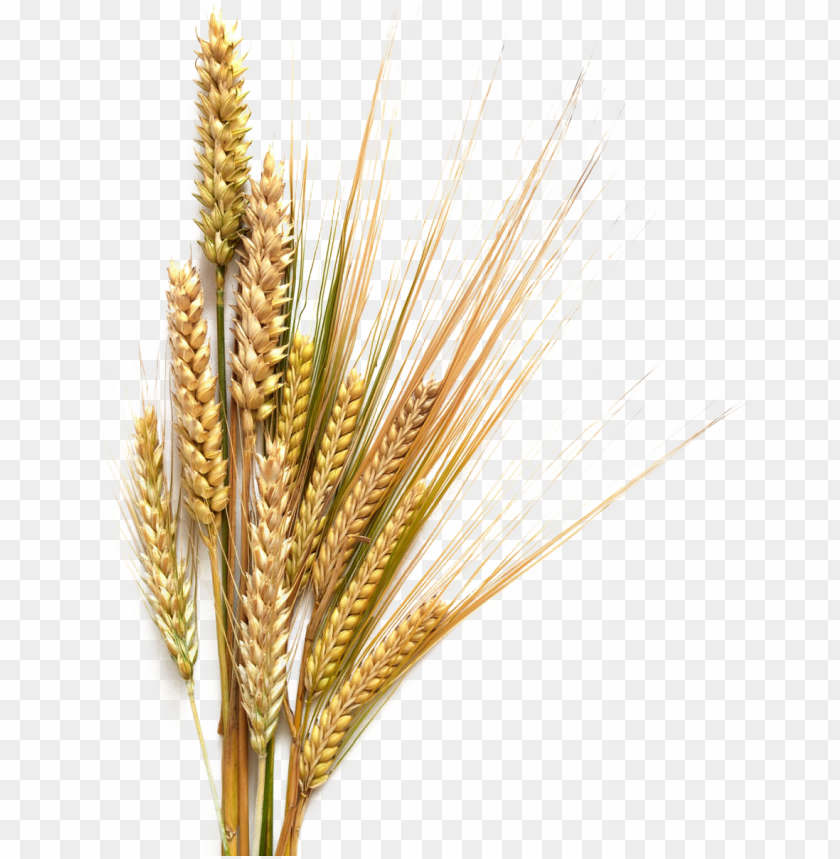 Grains Clipart Sheaf Wheat - Sheaves Of Wheat Clipart - Free Transparent  PNG Clipart Images Download