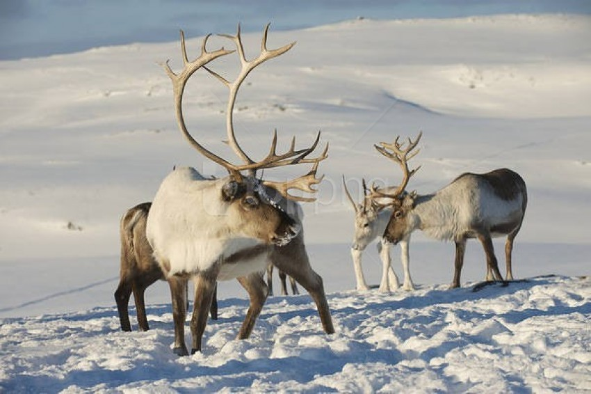 free PNG rreindeers winter background best stock photos PNG images transparent